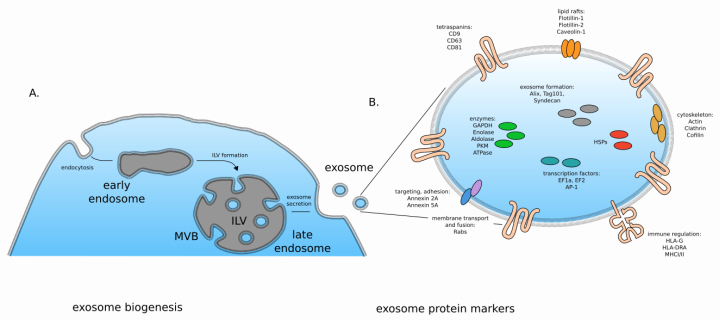 exosome biogenesis and protein markers