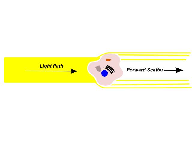 forward scatter